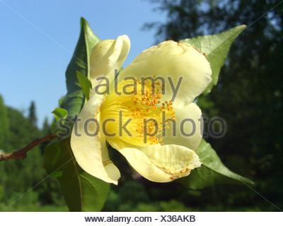 Japanese stewartia (Stewartia pseudocamellia), flower - Stock Photo