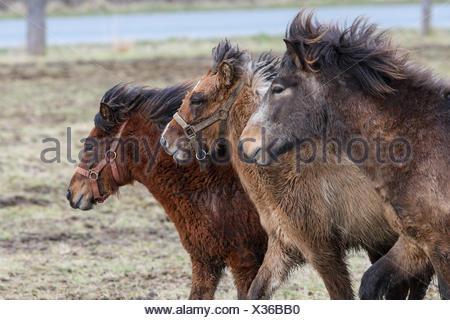Islandponys auf der Weide beim Liebesspiel. - Stock Photo