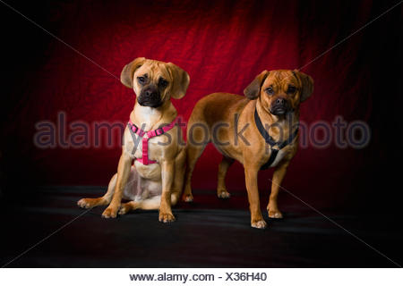 Pug Beagle dogs on red studio background; St. Albert, Alberta, Canada - Stock Photo