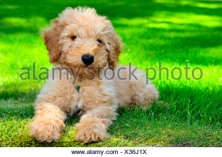 11 week old miniature Australian Labradoodle puppy, - Stock Photo