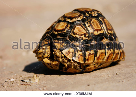 leopard tortoise (Geochelone pardalis), with head and legs moved to teh snap, Botswana, Chobe National Park - Stock Photo