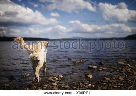 USA wet dog with long hair family pet shaking itself - Stock Photo