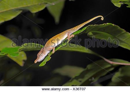 Blue-nosed Chameleon (Calumma boettgeri), male, Madagascar, Nosy Be, Lokobe Reserva - Stock Photo