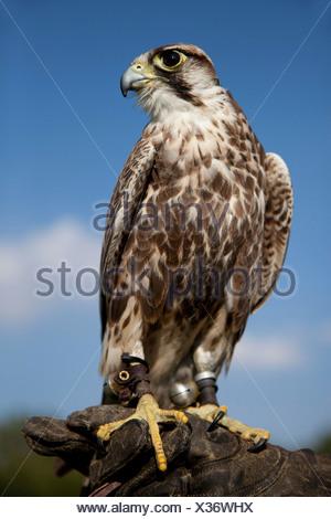 Saker Falcon (Falco cherrug), male, perched a falconer's glove - Stock Photo