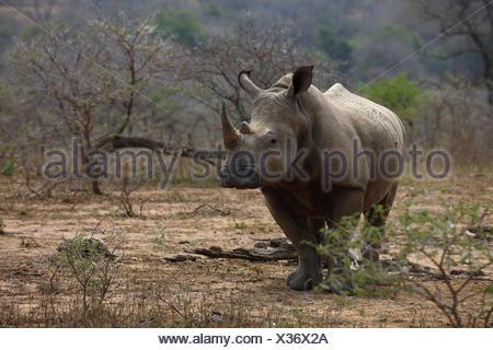 White Rhinoceros (Ceratotherium simum), Hluhluwe-Imfolozi National Park, Province of KwaZulu-Natal, South Africa - Stock Photo