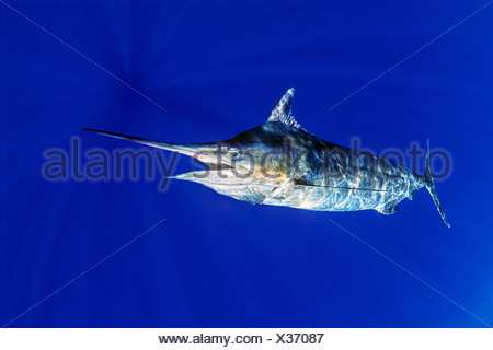 Blue Marlin, Makaira nigricans, Kona Coast, Big Island, Hawaii, USA - Stock Photo