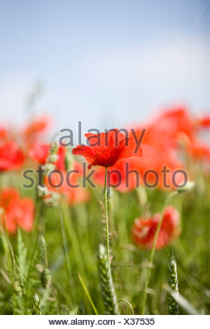 Red poppies in a field, one poppy in the foreground - Stock Photo