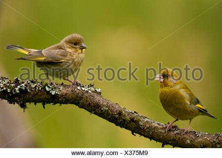 western greenfinch (Carduelis chloris), juveniles on a twig, Germany, North Rhine-Westphalia - Stock Photo