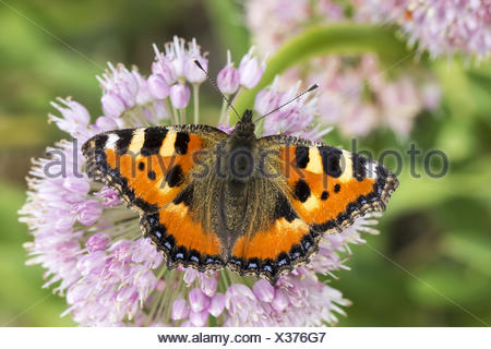 Nymphalis urticae, Small Tortoiseshell - Stock Photo