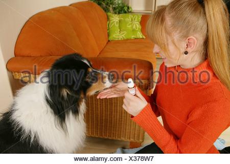Australian Shepherd - getting globules - Stock Photo