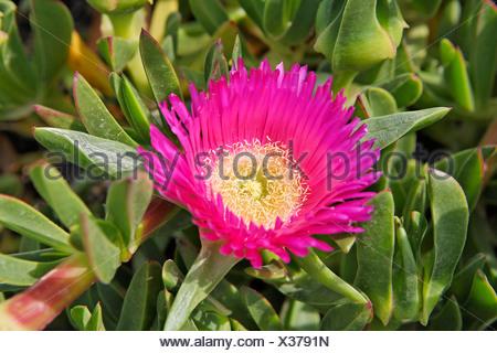 Hottentot fig (Carpobrotus acinaciformis), Santorini, Greece - Stock Photo