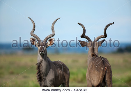 Greater Kudu (Tragelaphus strepsiceros) ram, Chobe National Park, Botswana - Stock Photo