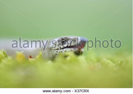 Blindworm, Anguis fragilis, Blindworm, portrait, blur, - Stock Photo