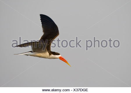 Africa, Botswana, Black Skimmer in flight  (Rynchops niger) - Stock Photo