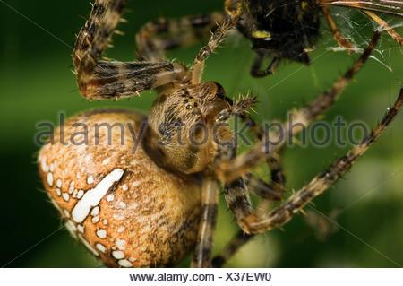 Makroaufnahme einer Kreuzspinne (Araneus diadematus) beim fresssen einer Wespe (Vespula germanica) - Stock Photo