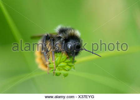 Bumble bee, Bombus, sitting on blossom - Stock Photo