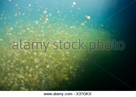 Jellyfish Lake with stingless Jellyfishes, Mastigias papua etpisonii, Micronesia, Palau - Stock Photo