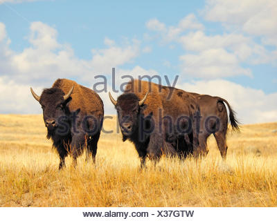 American bison, buffalo (Bison bison), herd of buffalos, USA, Wyoming, Yellowstone National Park, Lamar Valley - Stock Photo