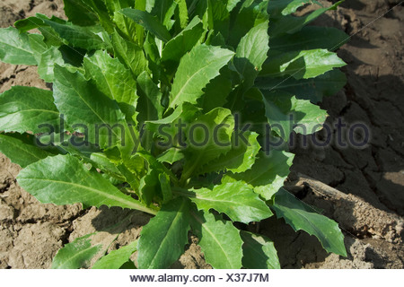 Agriculture - Closeup of early growth safflower plants in the field / Butte County, California, USA. - Stock Photo