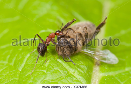 Wood Ant dragging a Dead Honey Bee Apis mellifera Kent UK - Stock Photo