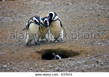 Magellanic penguin (Spheniscus magellanicus), three penguins looking into a nesting hole, Chile, Isla Magdalena, Punta Arenas - Stock Photo
