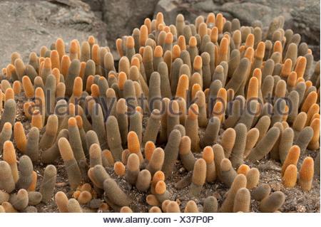 lava cactus (brachycereus nesioticus); galapagos, equador - Stock Photo