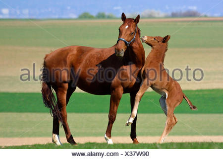 Warmblood Bay foal traing to play its mother - Stock Photo