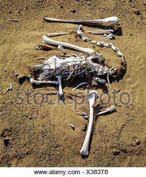 Pelican skeleton (Pelecanidae, Pelecanus) - Stock Photo