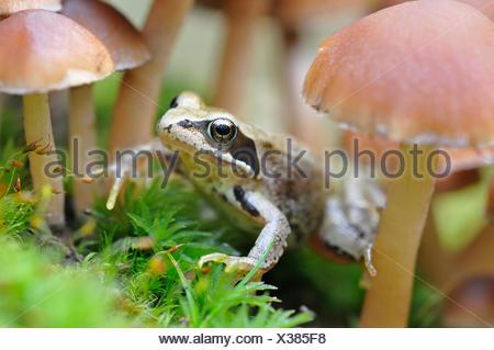 Common Frog (Rana temporaria) sitting among small lamellar mushrooms, Germany - Stock Photo