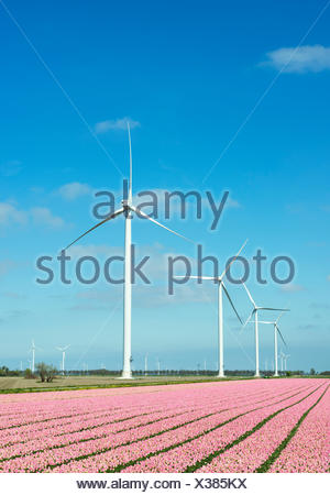 Rows of pink flower blooms and wind turbines, Zeewolde, Flevoland, Netherlands - Stock Photo