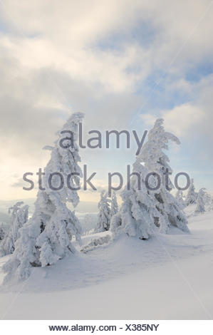 Snowy spruces, Bavaraia, Germany - Stock Photo