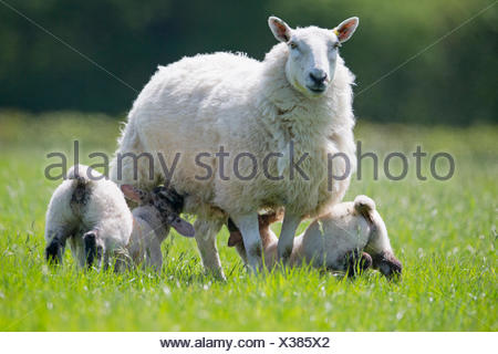 Lambs suckling sheep in sunny green spring field - Stock Photo