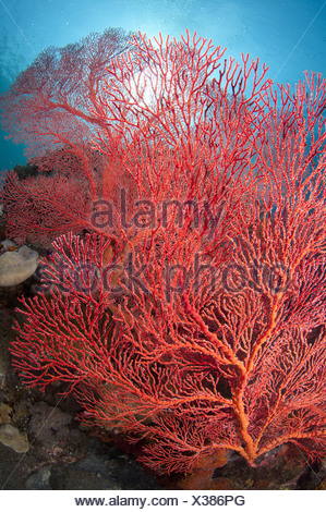 Red Sea-fan (Melithaea sp.) on reef, Caldera, Komba Island, Lesser Sunda Islands, Indonesia - Stock Photo
