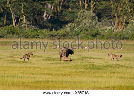 Cape buffalo (Syncerus caffer) surrounded by Spotted Hyenas (Crocuta crocuta), Lake Nakuru National Park, Kenya - Stock Photo
