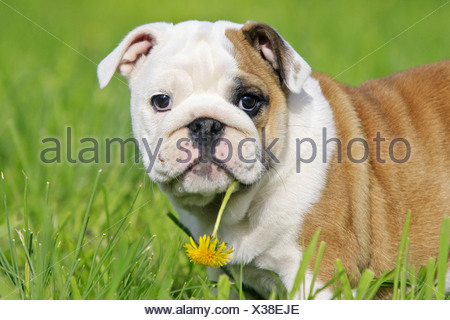 English Bulldog, puppy on a meadow, with a dandelion flower in its mouth - Stock Photo