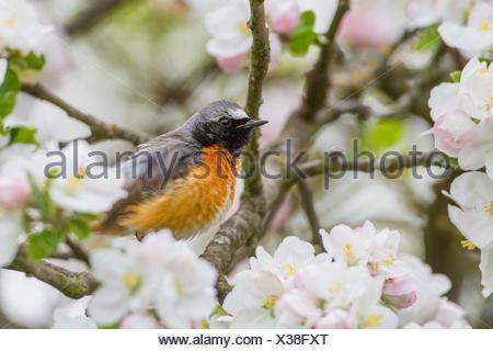 Gartenrotschwanz, Garten-Rotschwanz (Phoenicurus phoenicurus), Maennchen sitzt im Apfelbaum, Deutschland   common redstart (Phoe - Stock Photo