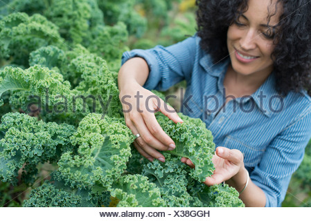 An organic vegetable farm. A woman working among the crisp curly kale crop. - Stock Photo