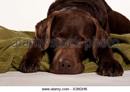 Brown Labrador, old dog, lying on a blanket - Stock Photo