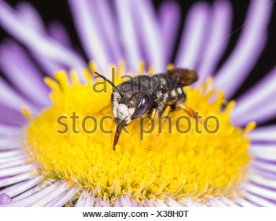 Potter bee (Anthidium scapulare), male sucking nectar drom erigeron annuus flower, Germany - Stock Photo