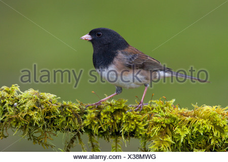 Dark-eyed Junco (Junco hyemalis) perched on a branch in Victoria, Vancouver Island, British Columbia, Canada - Stock Photo