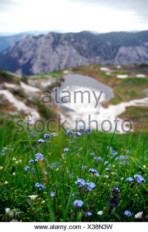Forget-me-not (Myosotis), blue flowers, in nature preservation area, landscape at the Loser Berg mountain, Altaussee, Bad Aussee - Stock Photo