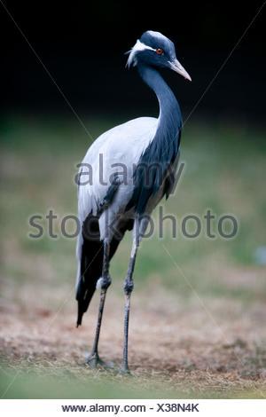 demoiselle crane - Stock Photo