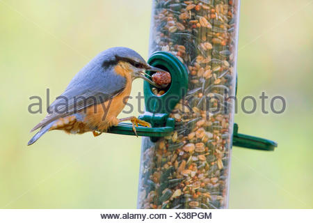 Eurasian nuthatch (Sitta europaea), getting a nut out of a tube seed feeder, side view, Germany, Bavaria, Niederbayern, Lower Bavaria - Stock Photo