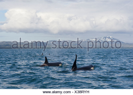 Killer Whale pod with large male swimming in front of Hawkins Island in Prince William Sound, Southcentral Alaska, Summer - Stock Photo