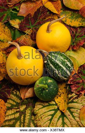 leaves cucurbits orange leaf tree trees garden plant green leaves flora grapes - Stock Photo