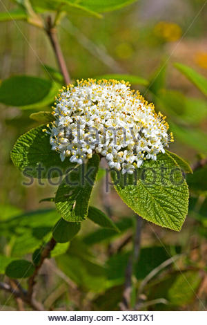 wayfaring-tree (Viburnum lantana), flowering, Germany - Stock Photo