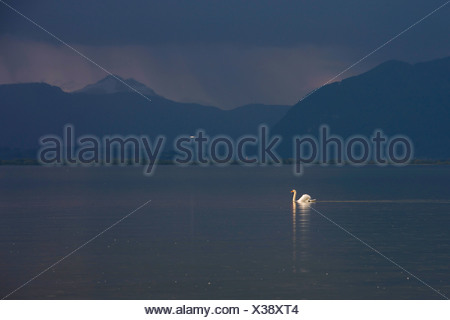 mute swan (Cygnus olor), swimming in a lake in front of approaching thunderstorm, Germany, Bavaria, Lake Chiemsee - Stock Photo