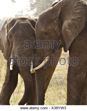 Two African Bush Elephants Loxodonta Africana bulls in submissive behavior after rough sparring Mana Pools National Park - Stock Photo