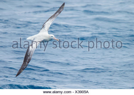 Wandering Albatross (Diomedea exulans) flying over the ocean searching for food near South Georgia Island. - Stock Photo