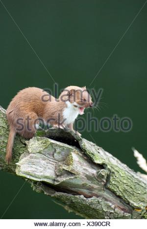 Weasel yawning,  British Wildlife Centre, UK - Stock Photo
